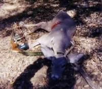 2003 recurve archery couse deer unit 33
