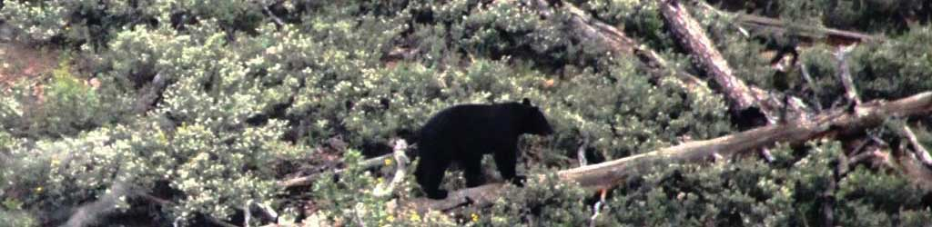 Finding Black Bear In Arizona On A Guided Hunt.