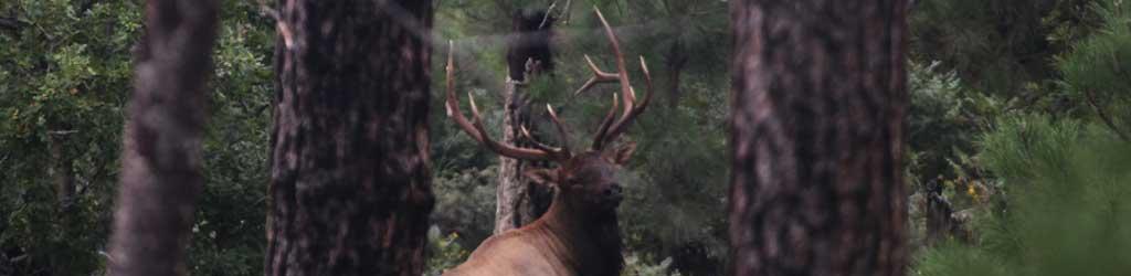 Locating Elk In Arizona. Elk Hunting. Guided Hunting In Arizona.