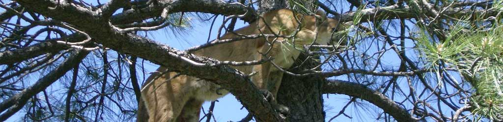 Cougar or Mountain Lion Guided Hunting Services In Arizona