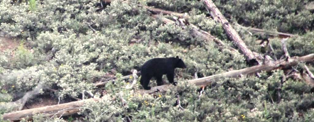 This is a picture of Bear Hunting Guide Services In Arizona