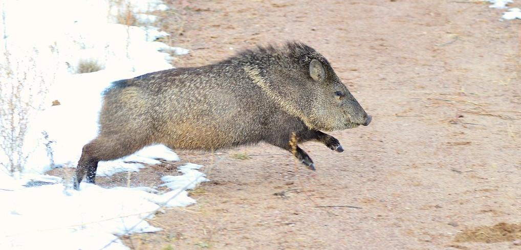 Arizona-Javelina-hunt